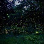 ホタルの光り方は東日本、西日本で違いはあるのでしょうか?