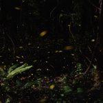 蛍は種類によって光り方や色が違う?